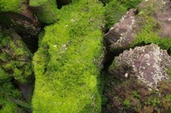 Controlling algae Naturally in your Pond